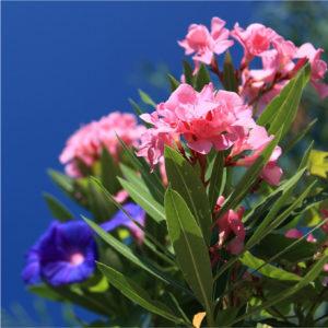 30% Rabatt auf Oleander, Palmen und Zitruspflanzen