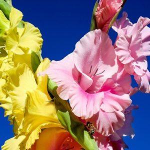 Sommerblühende Blumenzwiebeln und Knollen