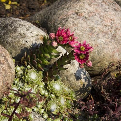 Steingewächse überleben den heißen Sommer